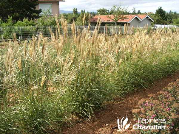 Miscanthus Nippon