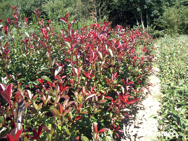 Photinia Fraserii Red Robin
